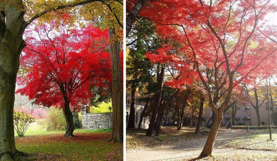 El arce japon s es el rbol que querr s tener en tu jard n - Arce arbol variedades ...
