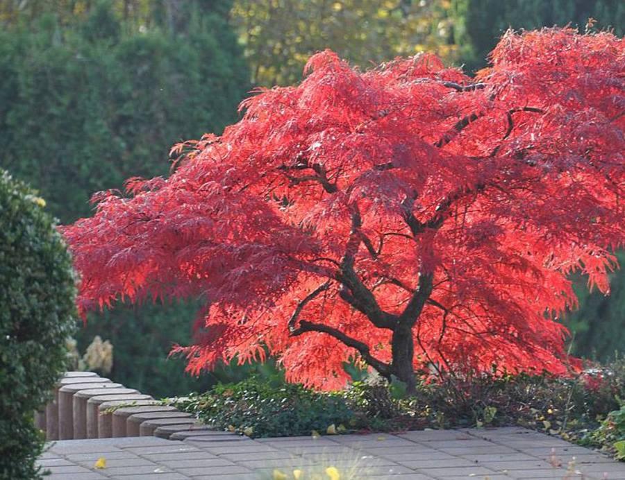 El Arce Japonés Es El árbol Que Querrás Tener En Tu Jardín Casas Increíbles