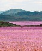 flores desierto atacama 01