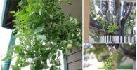 plantar tomates botella destacada