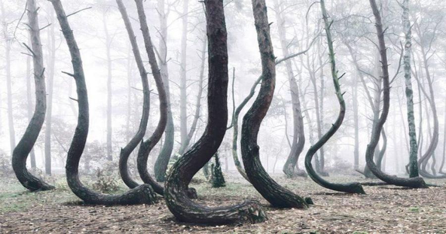 El curioso bosque torcido que está intrigando a todo el mundo