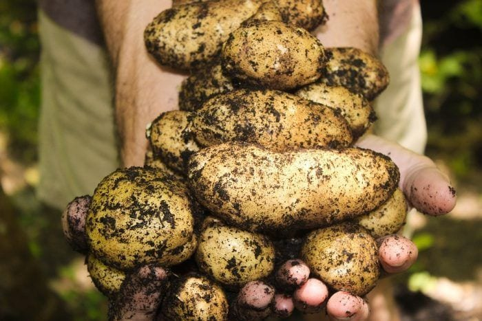 patatas vegetales que engordan