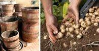 cultivar patatas barril dest